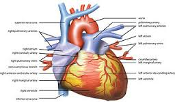 The Human Heart. Courtesy of Google